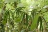 Vanilija – aroma, ki očara in začara
