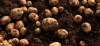 Kako do domačega krompirja brez kemikalij in umetnih gnojil