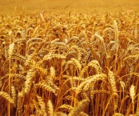 Izberite pšenično moko, vendar iz ekološke pridelave