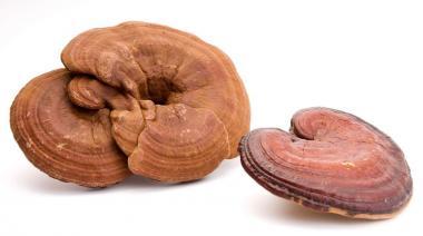 Reishi goba in njena uporaba