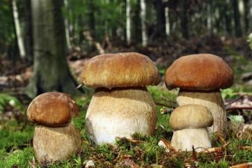 Gobe – gozdni sadeži, ki se nam ponujajo skoraj celotno leto