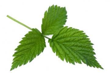 Čaj malinovih listov med drugim lajša porod
