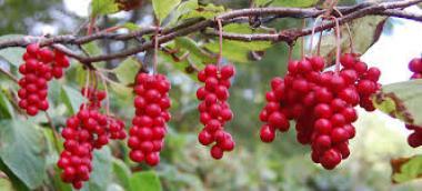 Šisandra je sadež petih okusov
