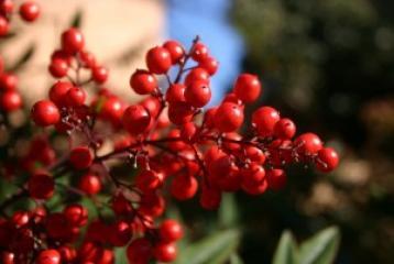 Brusnice su super voće te su prirodan lijek za mokraćne putove
