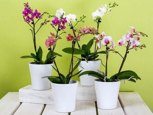 Nega in vzgoja orhidej