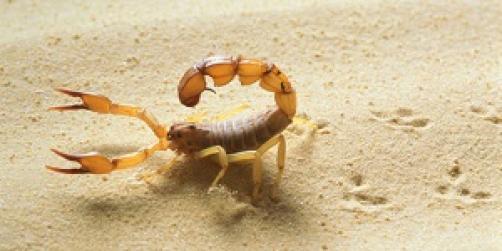 Kaj narediti, če te piči škorpijon oz. česa ne smeš pozabiti, ko se odpravljaš na morje