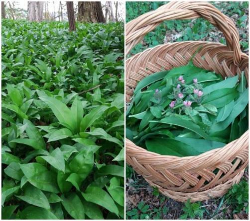 Čemaž – zdravilo gozda