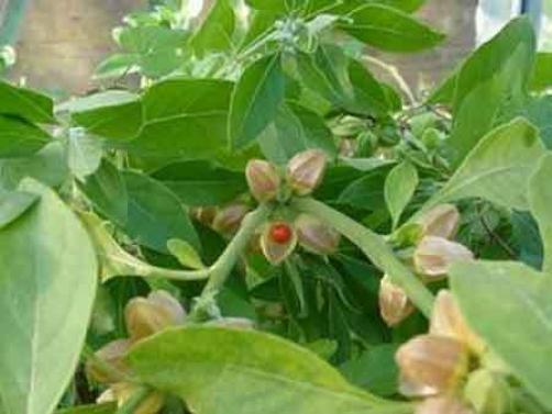 Ashwagandha pomlajuje in povečuje energijo