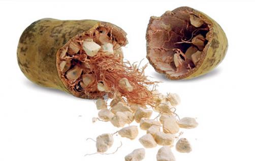 Baobab - opičji kruhovec ima pomembno vlogo v ljudski medicini