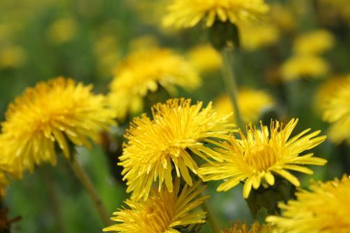 Regrat - uporabni so tudi cvetovi