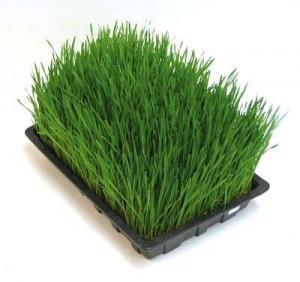 ječmenova-trava2
