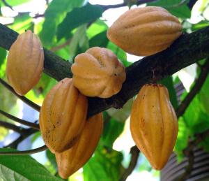 Theobroma-cacao-Cocoa